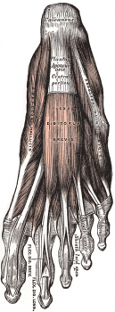 From Gray's Anatomy, via Wikimedia Commons. Public Domain.